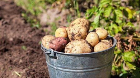 Сколько в ведре картошки