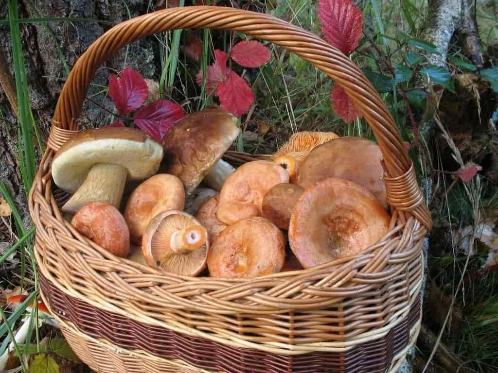 корзина лесных грибов
