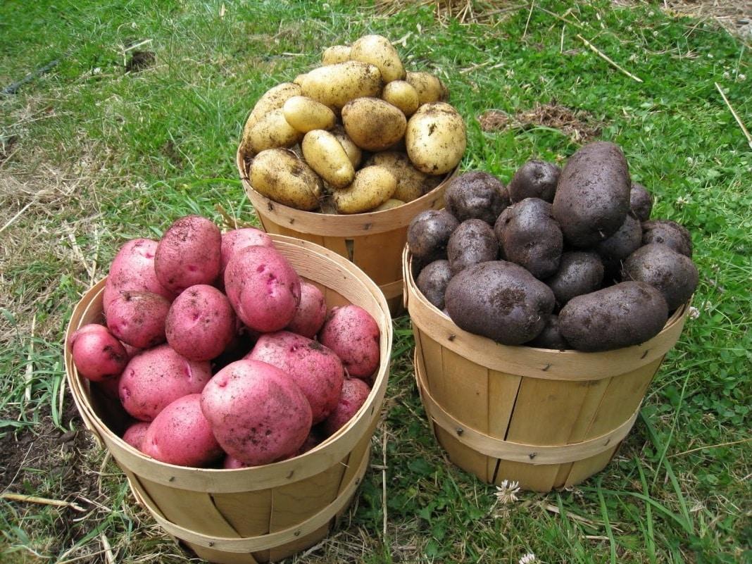 три ведра картошки