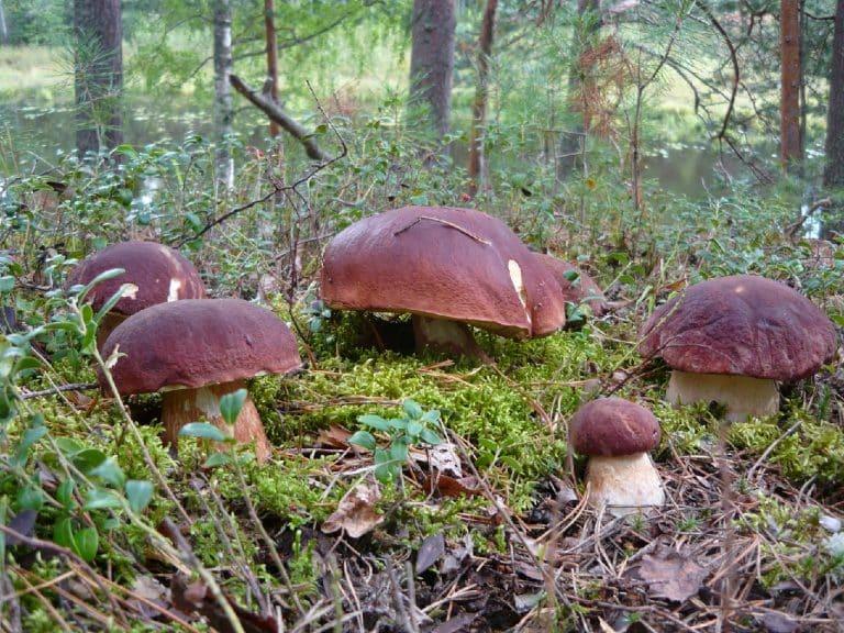 сколько варить грибы из леса