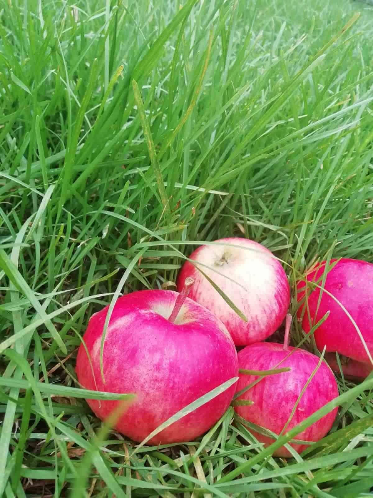 Чем полезны яблоки и кому