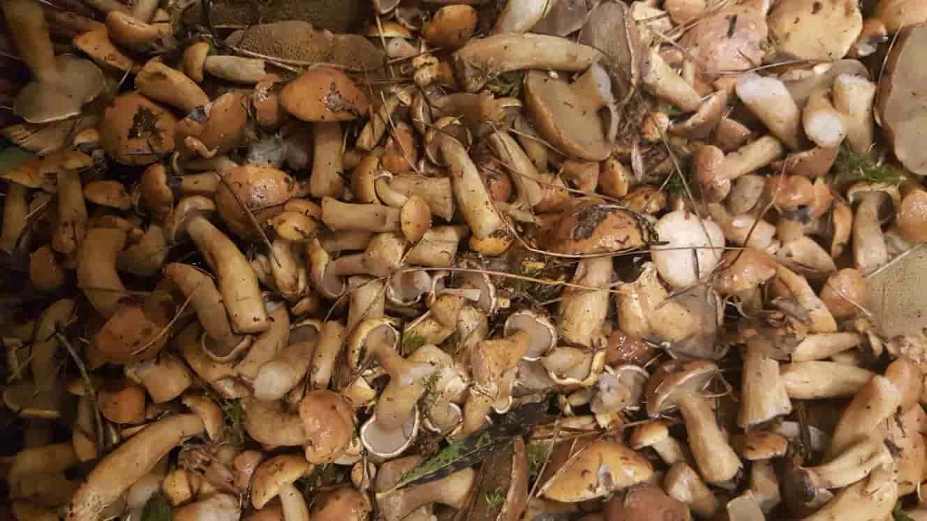 Моховики грибы